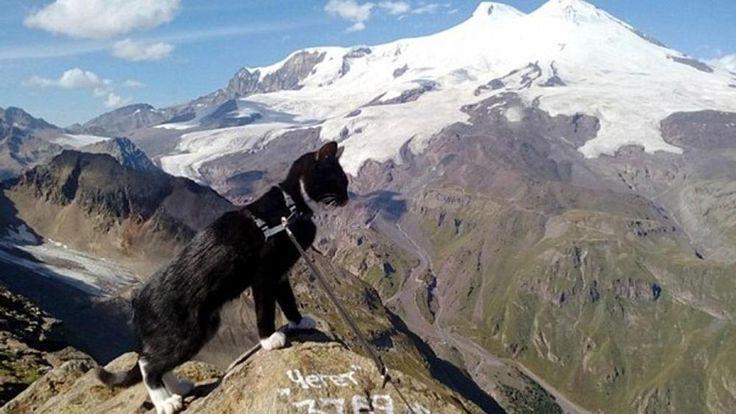 Gatto scalatore