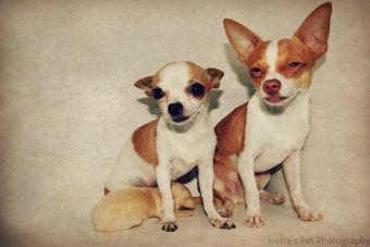 Conoce los tipos de Chihuahua