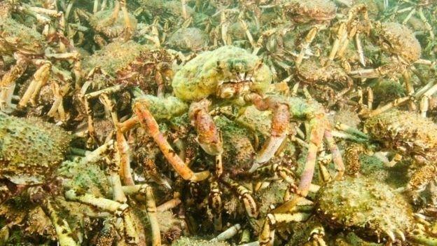 Cientistas estão observando e analisando os caranguejos para entender seu comportamento.  Fotografia: Sheree Marris / Divulgação.  http://noticias.uol.com.br/meio-ambiente/album/bbc/2016/06/17/cientista-registra-grupo-de-centenas-de-caranguejos-na-australia.htm#fotoNav=4