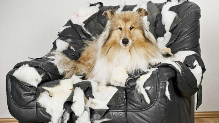 Hund zerstört Zahnbrücke - Wer haftet für Schädendurch Haustiere?