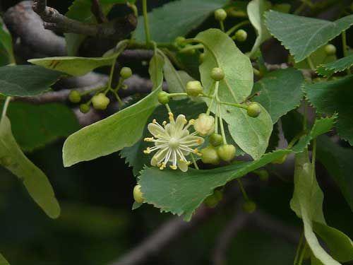 Conocido popularmente como tila, el té de tilo se obtiene de la flor de este árbol, por lo que es un tipo de té proveniente de flores. Desde...
