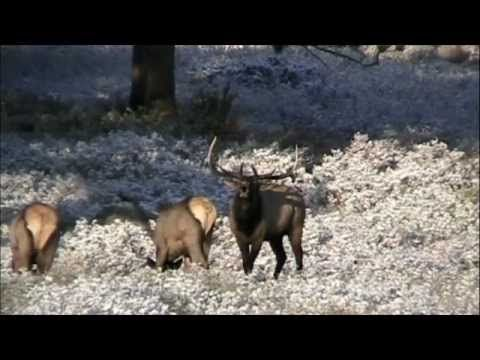 ELK BUGLING IN ROCKY MOUNTAIN NATIONAL PARK - YouTube