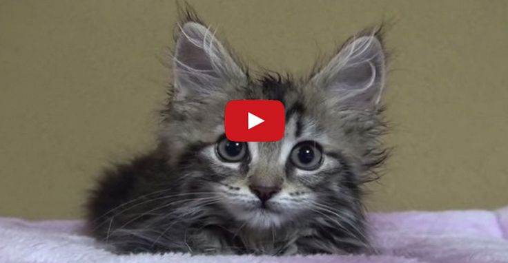 Osamu the Fluffy Kitten Plays With the Strange Bump on the ...