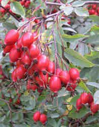 100 rosehip recipes on pinterest organic homemade homemade blush and blush beauty - What to do with rosehips jelly and vinegar ...