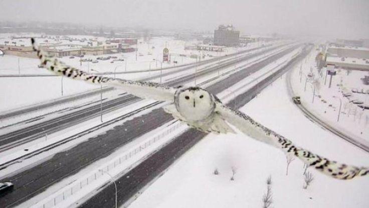 Eigentlich soll die Kamera den Verkehr einer kanadischen Schnellstraße überwachen. Dann fliegt eine Schnee-Eule direkt in ihren Fokus. Die Fotos des majestätischen Vogels faszinieren Menschen weltweit.