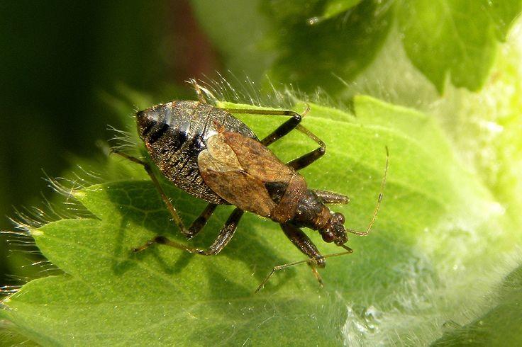Ant Damsel Bug (Himacerus mirmicoides)
