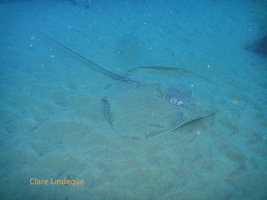 Honeycomb stingray on the sand at Ponta do Ouro, southern Mozambique