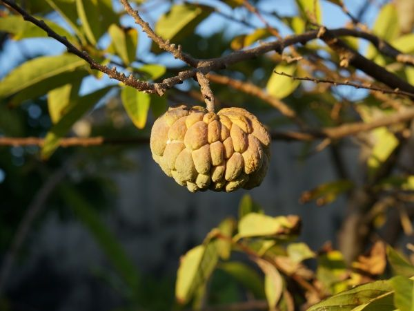 http://madacamp.com/Custard_apple