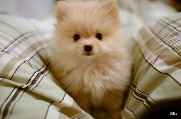 cute! Pomeranian(♡´∀`♡)pomeranian spitz aleman cute tiny little small teacup breed dog puppy
