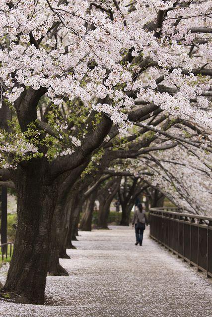 桜並木 | Damon Bay, Tokyo