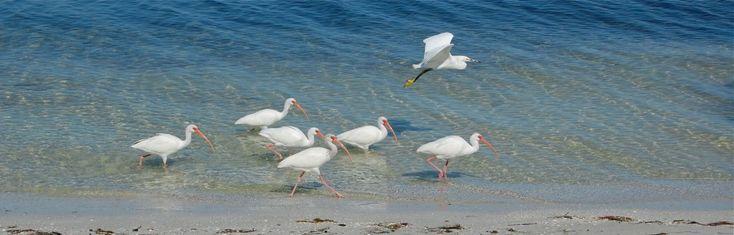 Egret & Ibis