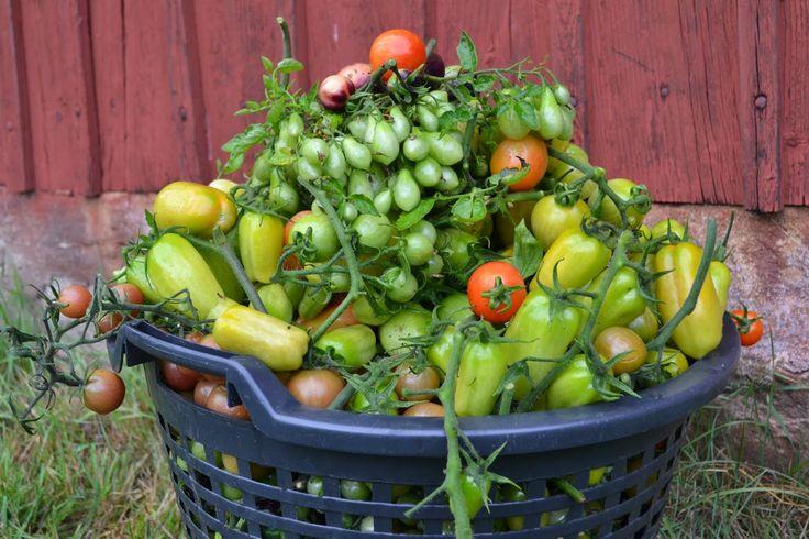 Årets slutskörd av tomater. Det mesta fick bladmögel, dessvärre. #trädgård #odla #garden