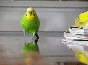 Attack of the budgie!