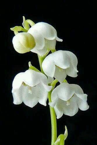 Flores  francesas