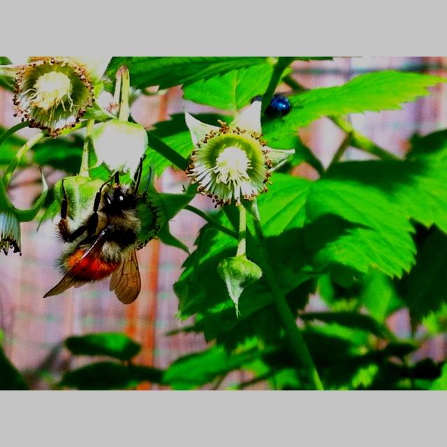 Bumble bee in my raspberries