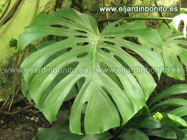 17 best images about plantas on pinterest tes alocasia - Plantas de sol y sombra ...