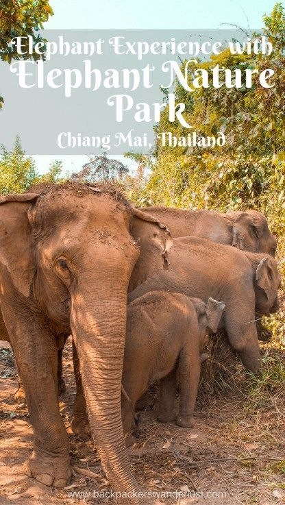 Elephant Experience with Elephant Nature Park in Chiang Mai Thailand | Freedom program | Chiang Mai| Thailand | Backpack Thailand | Travel South East Asia | Ecotourism | Elephant conservation | Volunteer Thailand | What to do in Chiang Mai | Bathe elephants | Feed elephants | Walk with elephants | Do not miss | Backpackers Wanderlust | http://www.backpackerswanderlust.com/tour-elephant-nature-park-chiang-mai