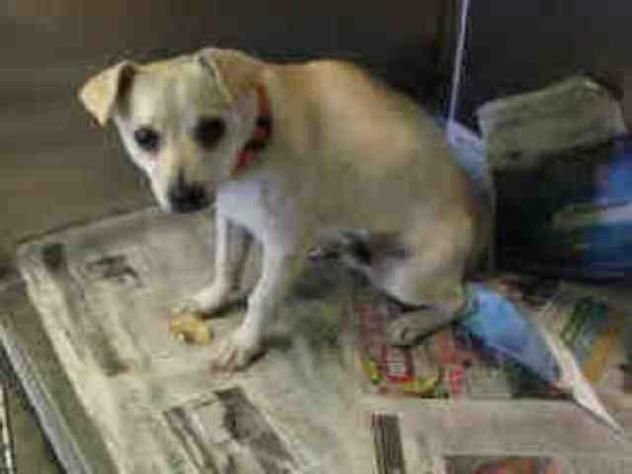 BOBY - URGENT - located at CITY OF LOS ANGELES SOUTH LA ANIMAL SHELTER in Los Angeles, CA - Young Male Chihuahua