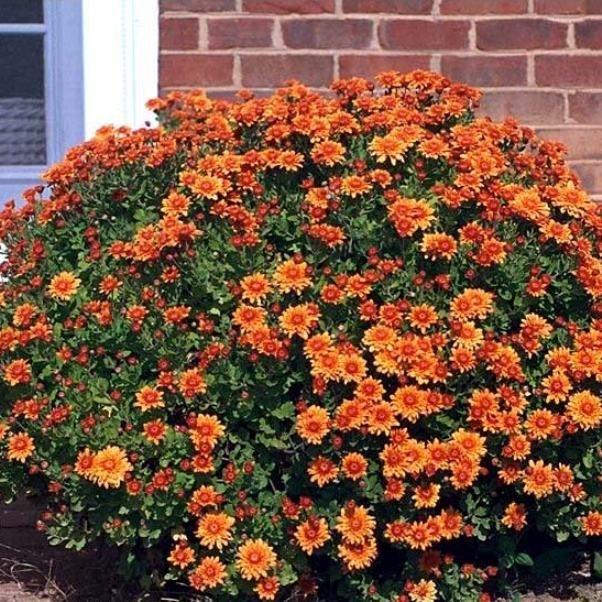 Многолетние садовые хризантемы - Садоводка