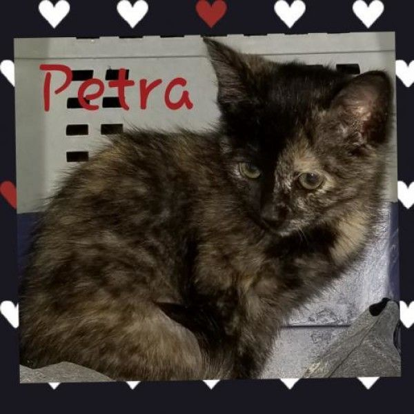 Tortoiseshell And Domestic Medium Hair Mixed Cat For Adoption In Denver Colorado Petra In Denver Colorado Cat Adoption Cat Cuddle Adoption