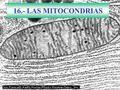 16.- LAS MITOCONDRIAS. MITOCONDRIA:VISIÓN Doble membrana. Semiautónomo. Energético (productor de ATP) Teoría endosimbiótica. Célula eucariota: Animal.