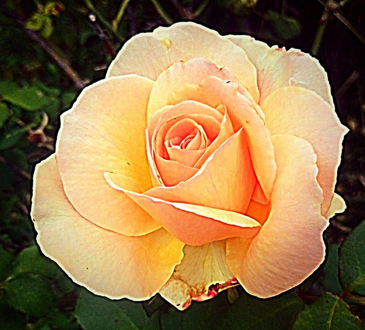 The beauty of this rose, is in the way it is positioned.