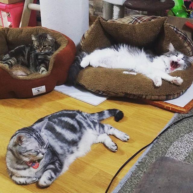 #RADICA でXmasプレゼントにベッド面々に4つ買いましたー😆💕 ホワホワベッドがお気に入り♥👼💞 クラ様が寝てるシェル型ベッドは 争奪戦激しいです♥♥ ここのは質がほんとにいい♥ セール中で安くなってますよー👍✨ #猫#ねこ#ネコ#キャット#cat#ノルウェージャンフォレストキャット#アメショー#アメリカンショートヘアー#アメリカンカール#カール#ノル#ねこ部#ニャンすたグラム#モフモフ#もふもふ#にゃんこ#親バカ#猫バカ#猫マニア#猫一家#愛猫#子猫#サンタ#トナカイ#コスプレ#Xmas#radica_cat#ベッド#クリスマスプレゼント