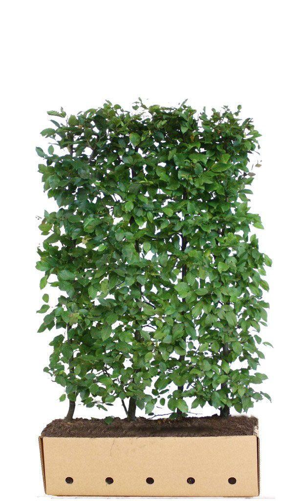 Hainbuche - Carpinus betulus - 150 cm Höhe