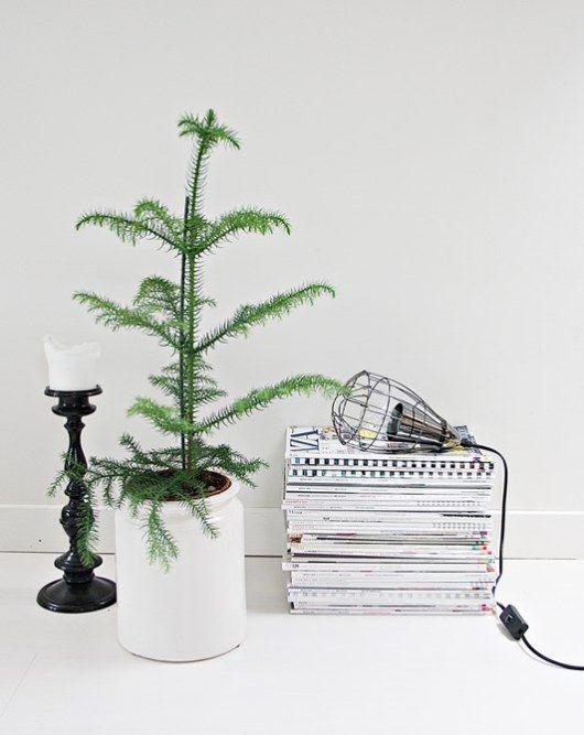 Araucaria heterophylla, Norfolk island pine. I want my own home pine too