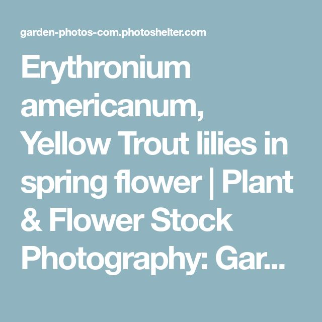 Erythronium americanum, Yellow Trout lilies in spring flower | Plant & Flower Stock Photography: GardenPhotos.com