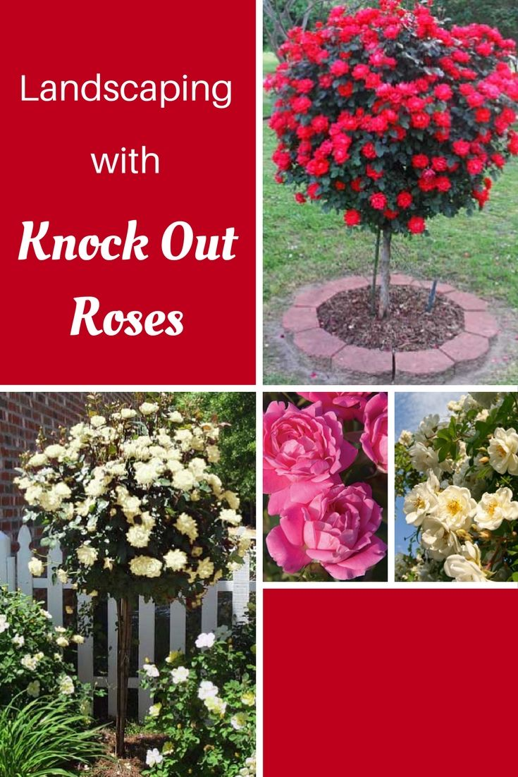 As a landscape designer and garden center employee, I am constantly asked to suggest plants that bloom all summer. My first suggestion is always shrub roses, specifically Knock Out roses. Introduced in 2000, these roses changed the game by boastingRead this artice