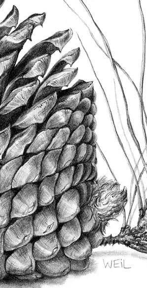 Pine Cone Drawing and much more.  Learn to draw.   http://drawsketch.about.com/od/learntodraw/u/learn-to-draw.htm