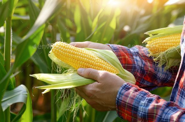 Harvest Ready Unwrapped Corn Cobs In Farmer S Hands Corn On Cob Corn Harvest