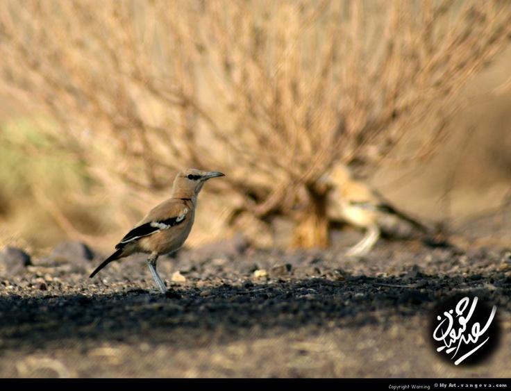 Iranian crow
