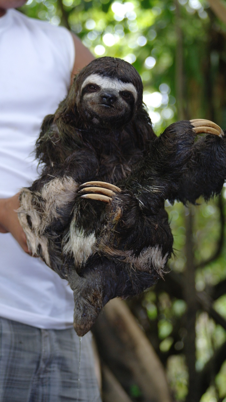 """WHAT?!? so jealous!!! """"we found this sloth in our jungle expedition in Iquitos Peru"""""""