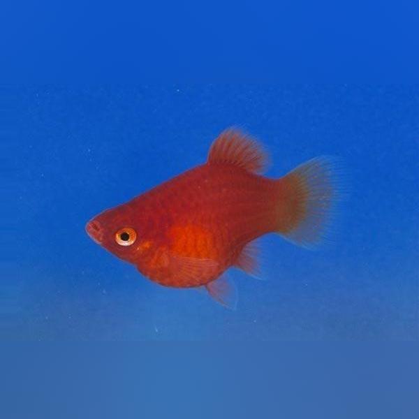 Dwarf Coral Red Platy Platy Fish Betta Fish Fish