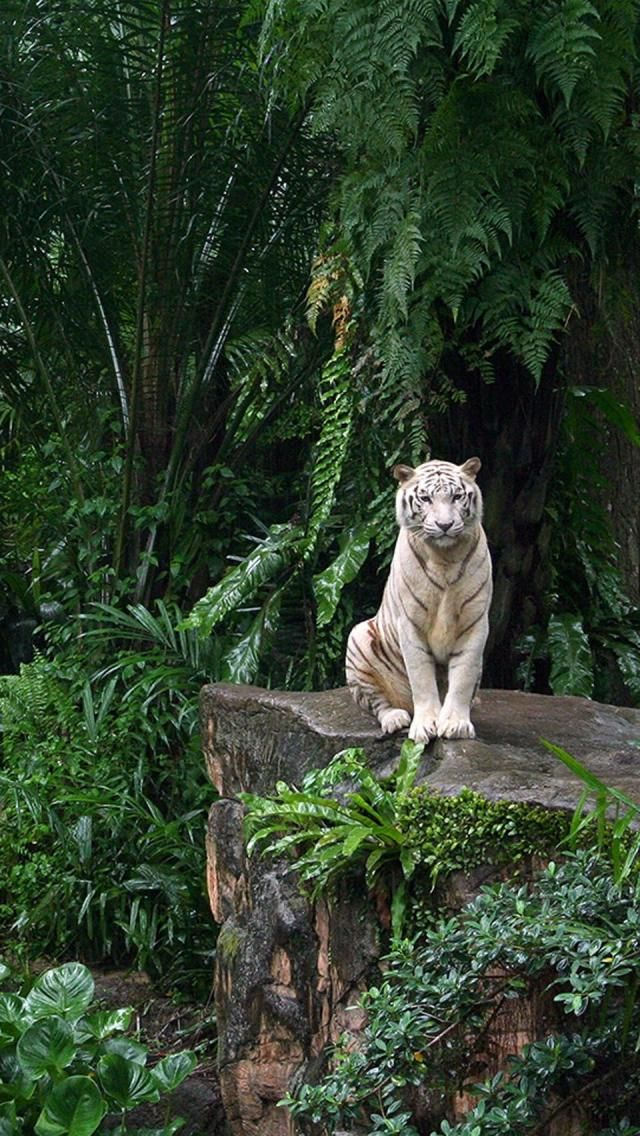 White Tiger, -- [REPINNED by All Creatures Gift Shop]