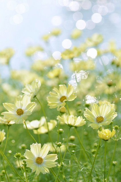 Coreopsis Moonbeam: Another plant that dances in the breeze. Love this pale yellow-mine are bright yellow. | Pastel Yellow Color Theory