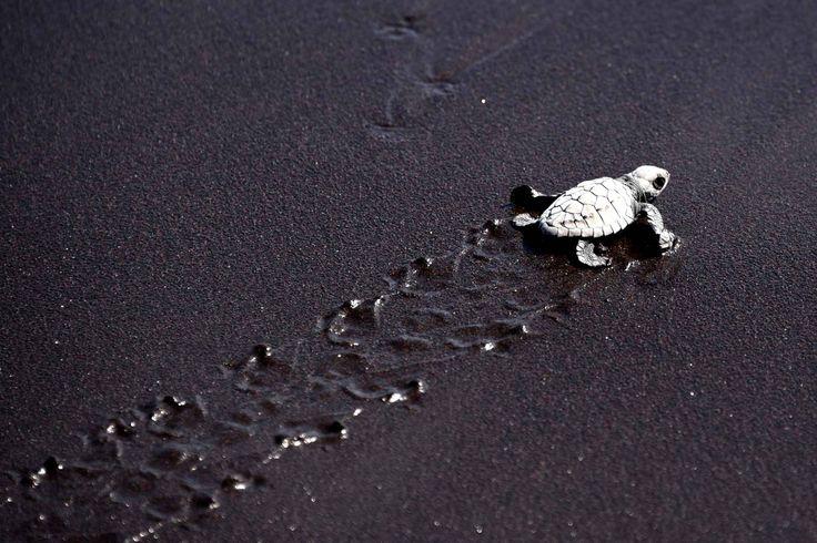 09/11/15 - Une tortue vient de sortir de l'œuf sur la plage de Puerto Quetzal et va rejoindre l'océan.