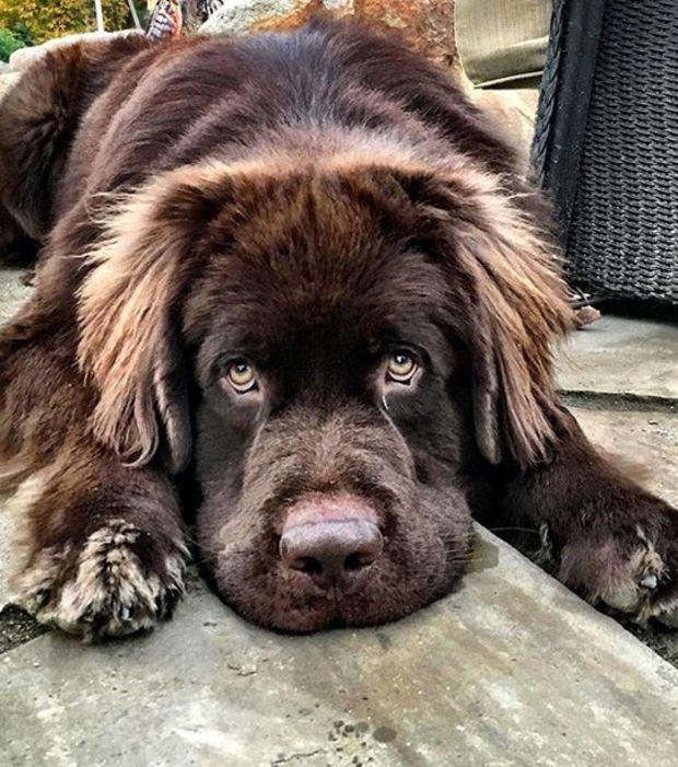 Un bon chien de la race des Terre Neuve : Dahlia