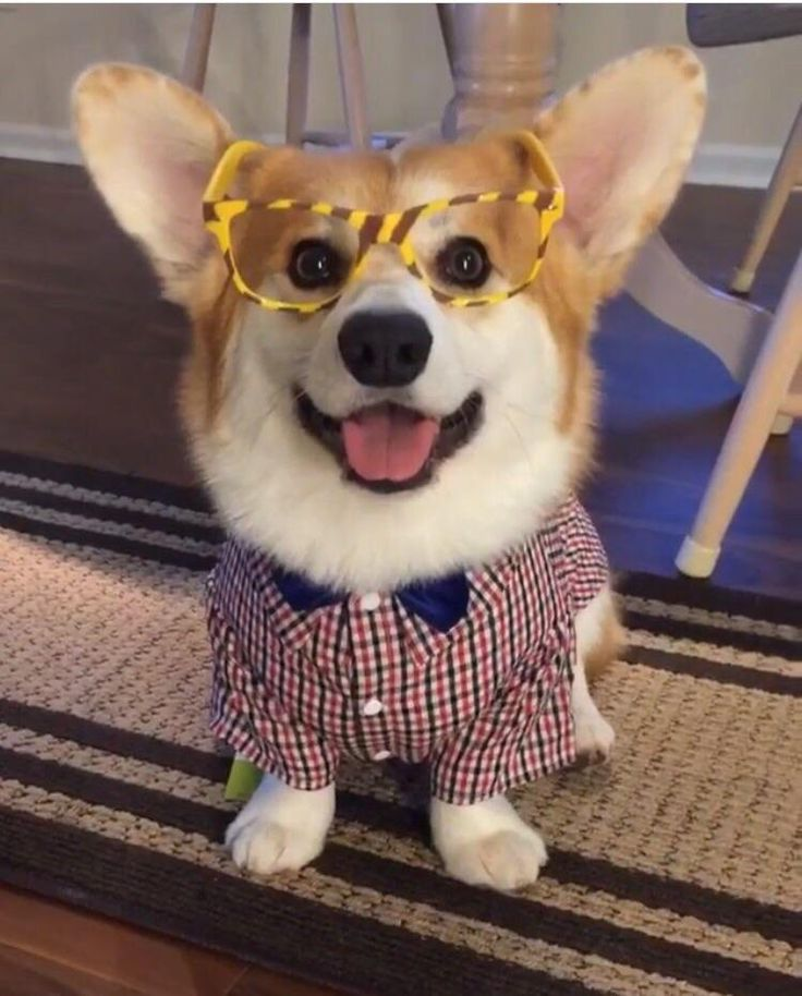 Best 25+ Corgi costume ideas on Pinterest | Corgi puppies ... | 736 x 914 jpeg 85kB