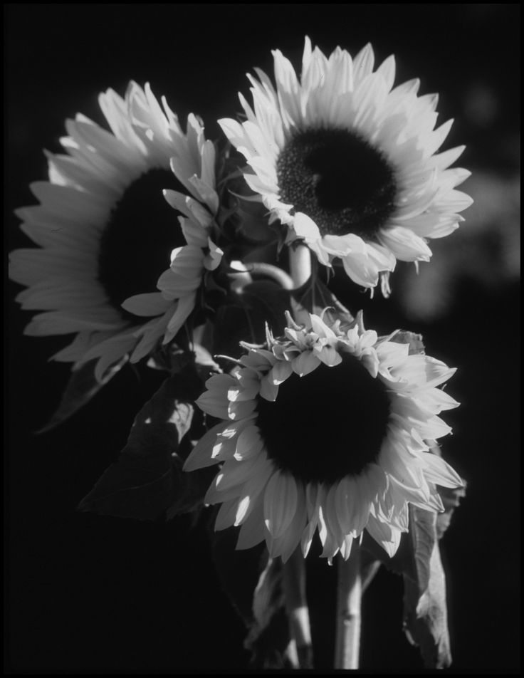 Black and White Sunflowers | Nature | Sunflower pictures ...