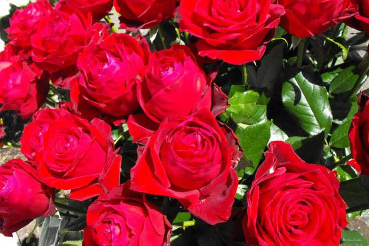 Prachtige rode rozen Historische Tuin Aalsmeer