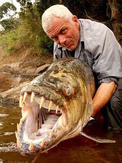 Peixe-tigre: também chamado de peixe-tigre-golias ou peixe-tigre-do-rio-Congo, esta espécie vive nos rios do África