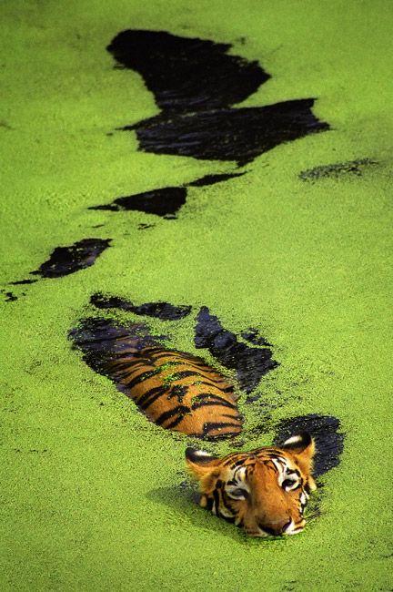 Tiger in India. Photo taken by Sudip Roychoudhury. Love this photo!