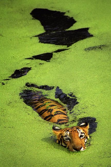 Tiger in India. Photo taken by Sudip Roychoudhury.