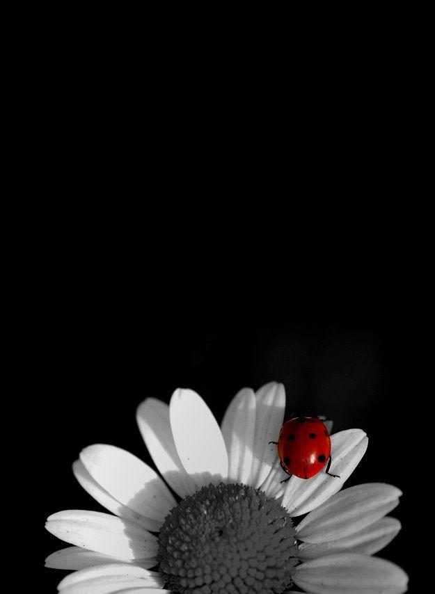 fleur blanche et coccinelle
