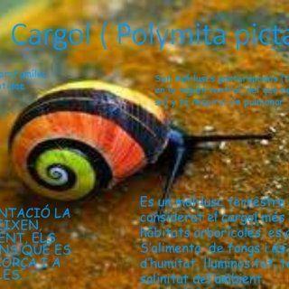 Cargol ( Polymita picta ) LA SEVA ALIMENTACIÓ LA CONSTITUEIXEN, EXCLUSIVAMENT, ELS FONGS I LÍQUENS QUE ES FIXEN A L'ESCORÇA I A LES FULLES. Es un mol•l. http://slidehot.com/resources/cargol-polymita-picta.21122/
