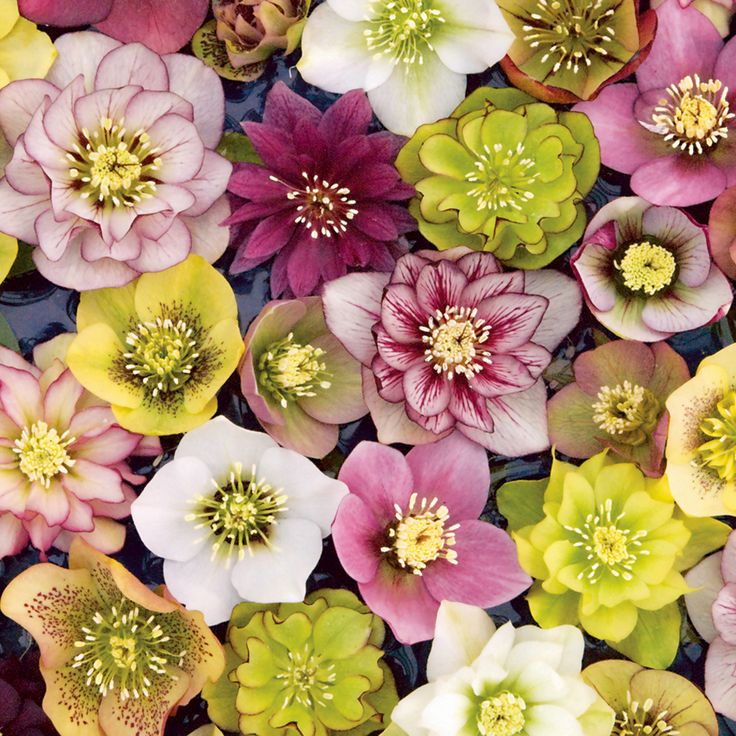 Hellebores a great shade flower with evergreen leaves! Blooms in late winter!