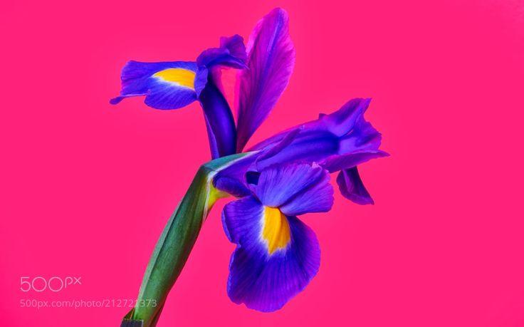 Lily.... - Zambak zambakgiller (Liliaceae) familyasının Lilium cinsinden genellikle soğan ile üreyen mevsimlik çiçekli bitkilerin adıdır. Zambakgiller familyasında bu cinse ait 110 civarında bitki türü vardır. Genellikle bahçe ve süs bitkisi olarak kullanılır bazı soğanlı türleri de insanlar tarafından yenilebilir. Bu cinse ait zambak türü asıl zambaktır isminde zambak geçen başka bitkilerde olmasına rağmen onlar diğer gruplara aittir. Zambak bitkisinin çiçekleri kimi ülke mutfaklarında…